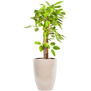 뱅갈고무나무(사기분)