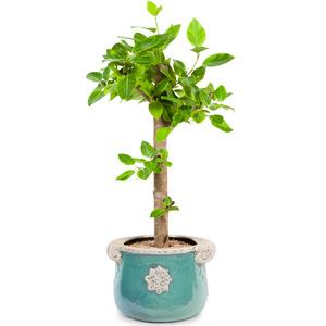 뱅갈고무나무5