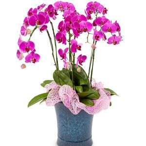 호접란 공기정화식물 1호