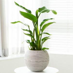 극락조(공기정화식물)